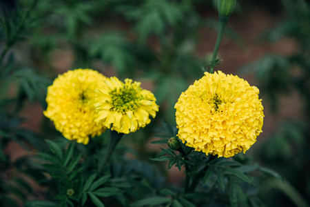 Flower (Tagetes erecta, Mexican marigold, Aztec marigold) yellow color, Naturally beautiful flowers in the garden Imagens