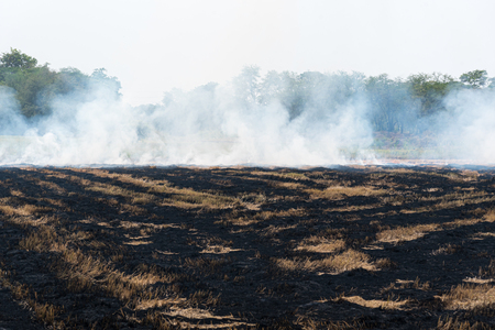Fire and burning dry grass make a flame with smoke it danger for agriculture and environment and cause conflagration