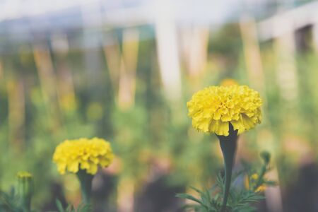 Flower (Tagetes erecta, Mexican marigold, Aztec marigold) yellow color, Naturally beautiful flowers in the garden 版權商用圖片