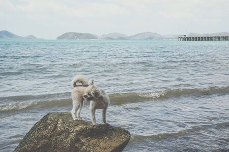cute beige color mixed breed with Shih-Tzu, Pomeranian and Poodle on the rocky beach