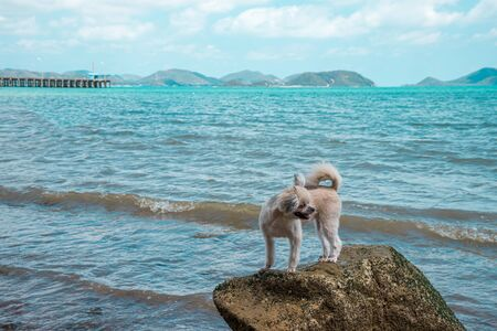 Poodle standing on the rocky beach