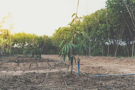 Durian seedling or sapling durian is a king of fruit in Thailand and asia fruit have a spikes shell and sweet can buy at Thai street food and fruit market at agriculture farm