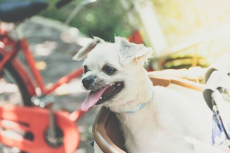 Dog so cute beige color mixed breed with Shih-Tzu, Pomeranian and Poodle on bicycle basket vintage style wait for vacation travel trip