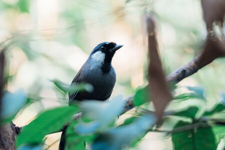 Bird (Black-throated Laughingthrush, Garrulax chinensis, Pterorhinus chinensis) is a species of bird in the family Leiothrichidae. It is found in asia perched on a tree in a nature wild
