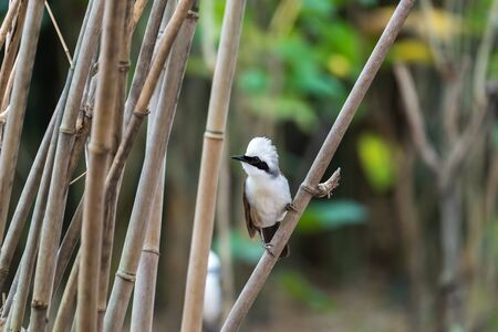 Bird (White-crested Laughingthrush, Garrulax leucolophus) brown and white and the black mask perched on a tree in a nature wild
