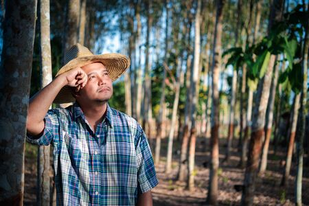 Asian man farmer agriculturist unhappy from low yield productivity at rubber tree plantation with Rubber tree in row natural latex is agriculture harvesting natural rubber for industry in Thailand