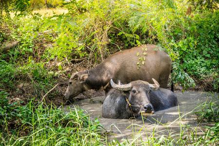 Thai buffalo in marshy swamp area