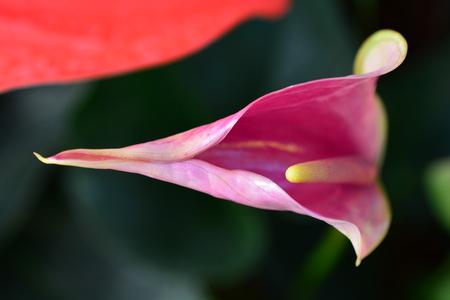 anthurium: Flamingo flower or Anthurium flower Stock Photo