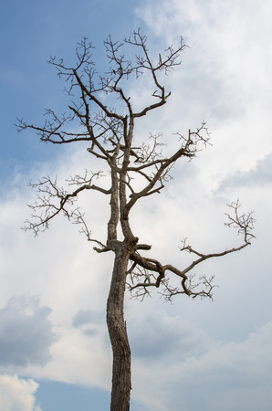 tall dying tree