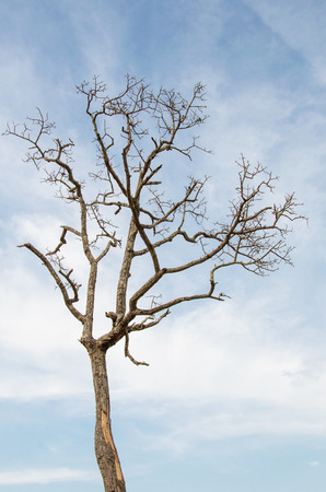 tall dying tree photo