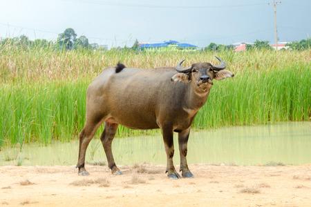 black buffalo at the field