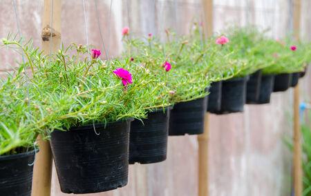 portulaca flowers  in vases