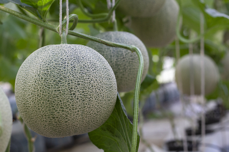 Melon large green, which has a sweet taste are grown in greenhouses. 免版税图像