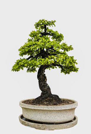 Bonsai tree isolated on white background. Its shrub is grown in a pot or ornamental tree in the garden. 免版税图像
