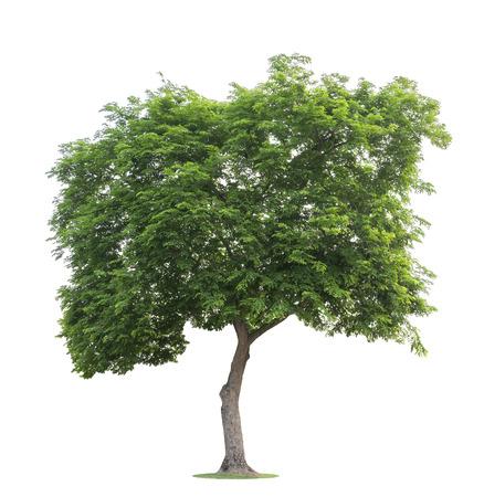 El árbol grande y verde aislado sobre fondo blanco. En el bosque, el jardín o el parque crecen árboles hermosos y robustos. Foto de archivo
