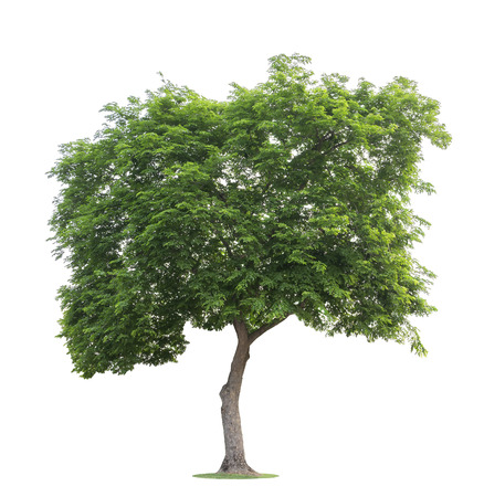 The big and green tree isolated on white background. Beautiful and robust trees are growing in the forest, garden or park. Reklamní fotografie