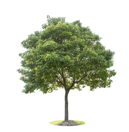 The big and green tree isolated on white background. Beautiful and robust trees are growing in the forest, garden or park. Stockfoto