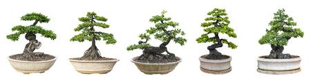 Bonsai-Bäume isoliert auf weißem Hintergrund. Sein Strauch wird in einem Topf oder Zierbaum im Garten angebaut.
