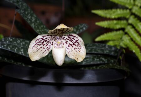 Paphiopedilum godefroyae. Paphiopedilum orchid flower or Lady's Slipper orchid, The flowers of which has a lip that is a conspicuous slipper-shaped pouch.