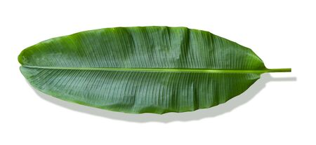 banana leaf on white background. It has very large leaves and resembles a palm. The plant is cultivated and grows well in tropical and subtropical. Stock fotó