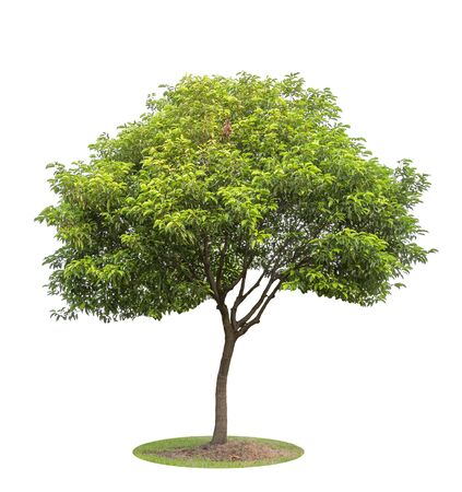 The big and green tree isolated on white background. Beautiful and robust trees are growing in the forest, garden or park.