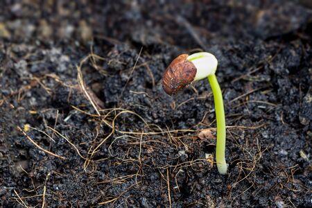 The saplings of yardlong beans grow in fertile soil. Stock Photo