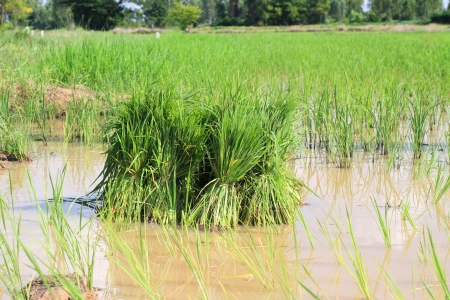 derivation: Seedlings of rice