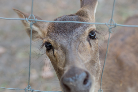 chain linked: Red deer hind, behind a chain linked fence.