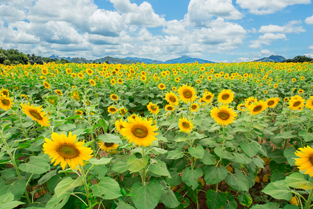 energize: Sunflowers