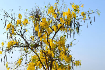 Cassia fistula deciduous trees in flowering bloom surge  Beautiful yellow photo