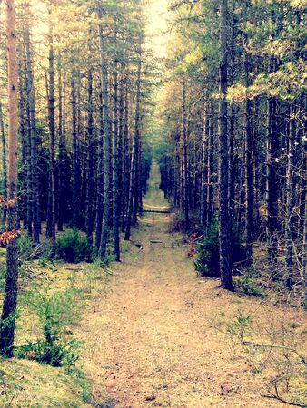 Pathway in pin forest