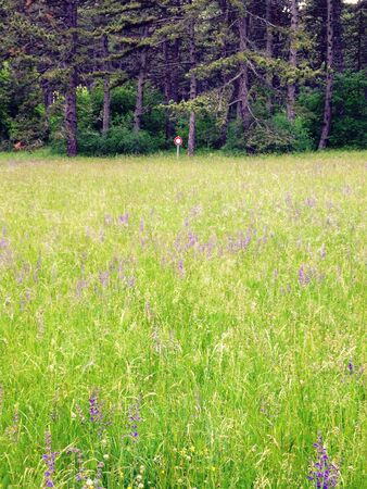 Green field with violet flowers, France Stockfoto