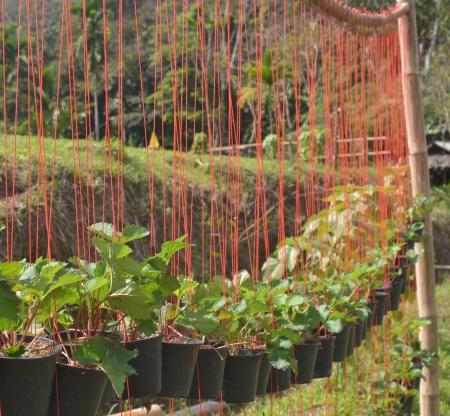 nurseling: Seedling strawberry