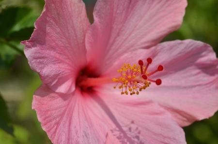 Pink hibiscus flower in garden photo