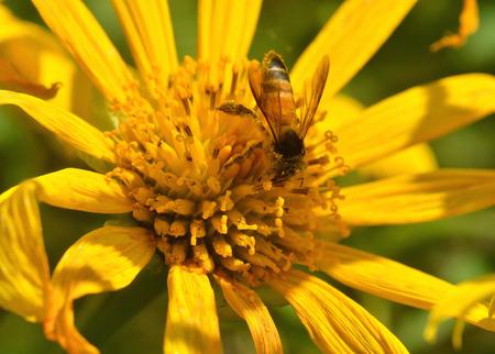 goldy: Un occupato bere il nettare delle api dal fiore Archivio Fotografico