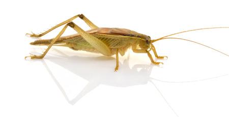 Grasshopper on a white background  Stock Photo