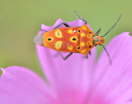 colorful Insect on pink flowers photo