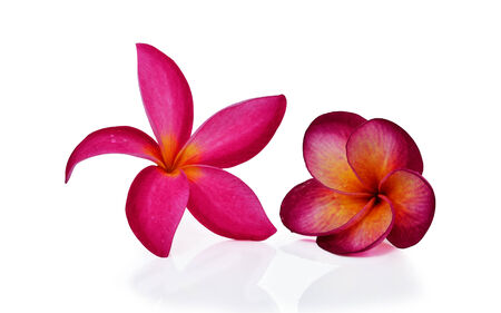 colorful plumeria flower isolated on white  photo