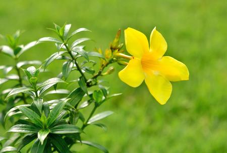 Allamanda, beautiful yellow flower in carden photo
