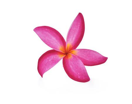 Red Frangipani flower on white background  Stock Photo