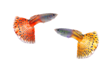 guppy: Beautiful Guppy Isolated on whte Background Stock Photo
