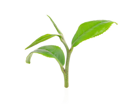 Green tea leaves isolated on white background Stock Photo
