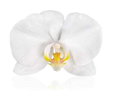 White orchids on white background