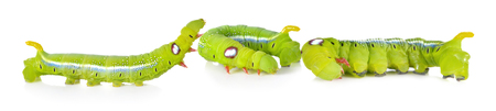 Green caterpillars on white background Stock Photo