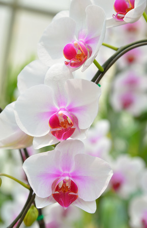 Beautiful white orchid in the garden.