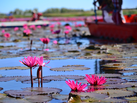 Lake of red lotus in upcountry Thailand Stock Photo