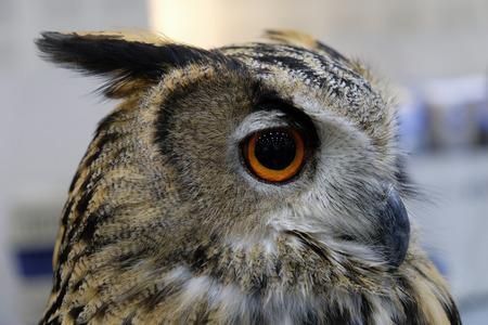 The evil eyes. (Eagle Owl)