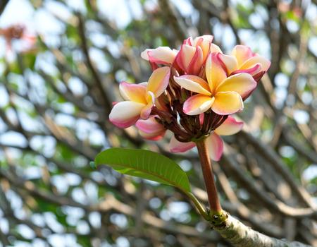 pink plumeria flower in garden