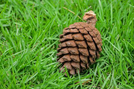 pomme de pin: c�ne de pin sur l'herbe