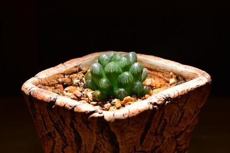 cactus species: Haworthia cooperi truncata, tiny desert plant in the pot with black background